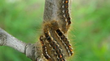 4 browntail moth caterpillars on a tree