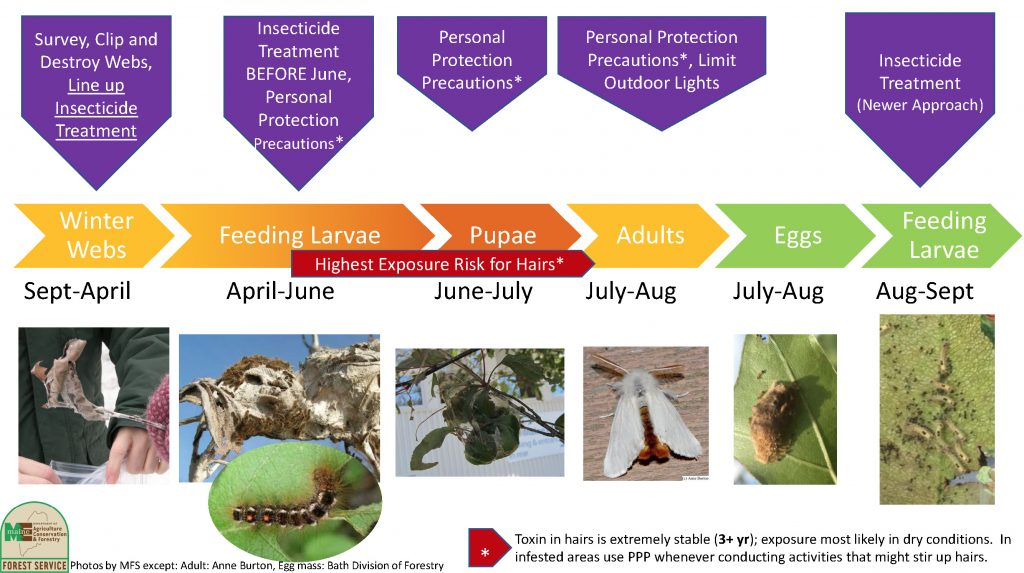 The life cycle and pest treatment plan of a Browntail moth. September through April, survey, clip, and destroy winter webs. Line up insecticide treatment. before June, treat feeding larvae with insecticide. Take personal protection precautions. June and July have the highest risk for hairs, at the pupae stage. July through August, adult stage. Limit outdoor lights, as it attracts moth to lay eggs, which happens from July through August. In August through September, feeding larvae hatch, use insecticide treatment. Toxins in hairs last 3 years or longer. Exposure more likely in dry conditions. In infested areas, use personal protective precautions whenever conducting activities that might stir up hairs.