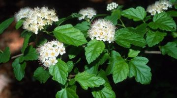 Common Ninebark Plant. Flowers and leaves.