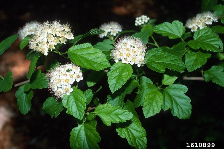 Common Ninebark Plant. Flowers and leaves.