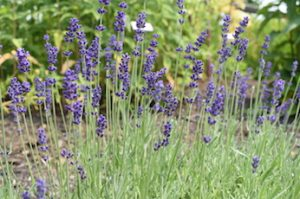 Lavender Flowers at Tidewater Farm