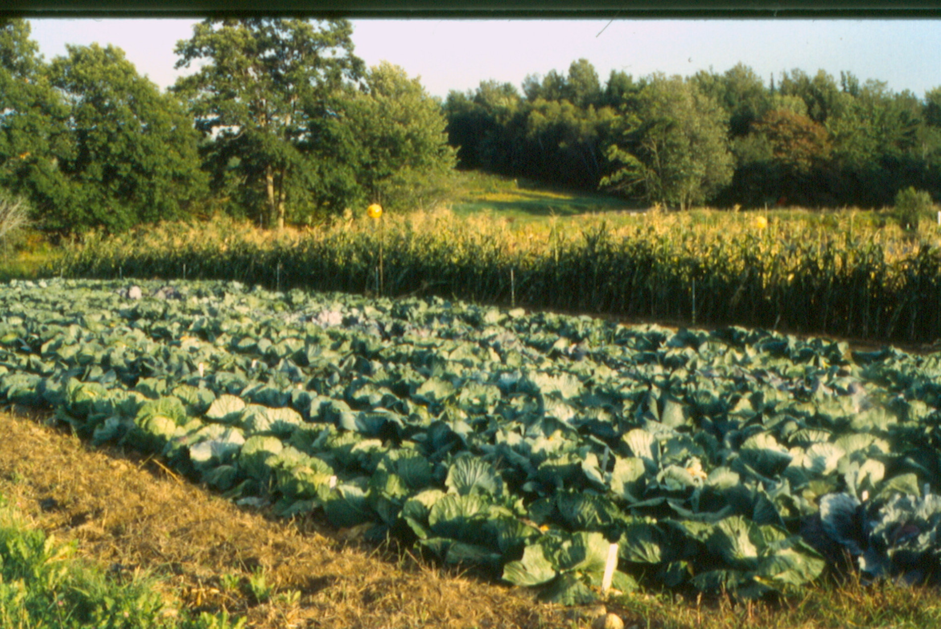Cover Crop protects soil while corn and cabbage grows