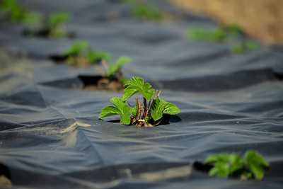rows of young strawberry plants