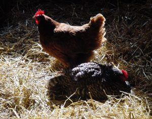 poultry in hay