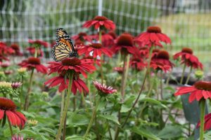 Monarch Butterfly on Echinacea Plant