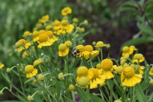 Bumble bee on sneezeweed flower