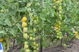 Yellow tomatoes growing on plant