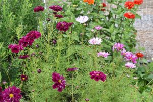 Purple, pink and white cosmos