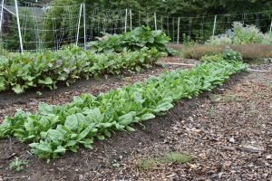 Spinach and beets in Maine Harvest for Hunger garden