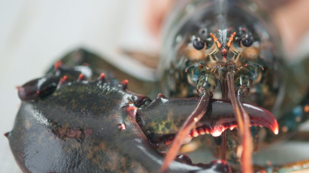 Lobsters in aquatic research lab