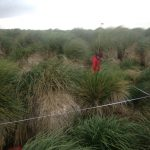 Researcher is nearly lost in coastal tussac grass growing in marked research plot.