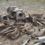 Excavated sea lion bones.