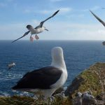 Black Browed Albatrosses take wing and fly in formation