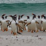 Gentoo penguins walking up the beach