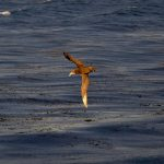 Giant Southern Petrel in flight over the ocean