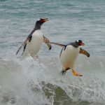 Gentoo penguins jumping out of the ocean onto the beach.