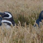 Magellanic penguin and chicks outside of their burrow.