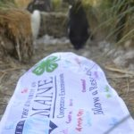 Rockhopper penguins next to a UMaine Extension 4-H class flag, signed by students