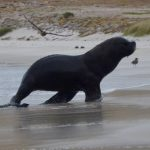 Sea lion comes up onto the beach with penguins