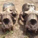 Two sea lion skulls
