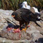 Striated Caracara eating its prey.