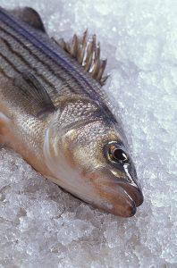 striped bass on ice