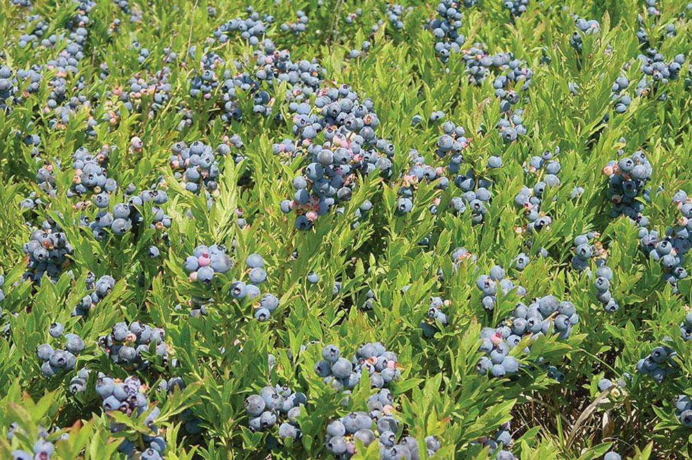 field of Maine wild blueberries