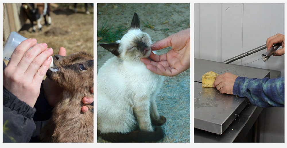 3 images show: 1. goat producer feeding milk to baby goat; 2. person petting a cat; 3. cheesemaker slicing cheese without gloves