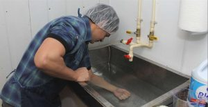 cheesemaker sanitizes hands and forearms in water and bleach mixture.