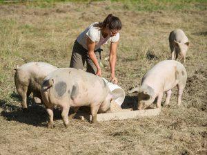 farmer feeding her hogs