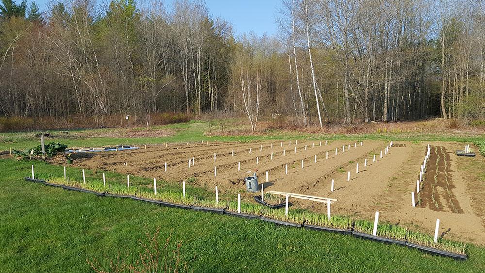 onion variety trial garden