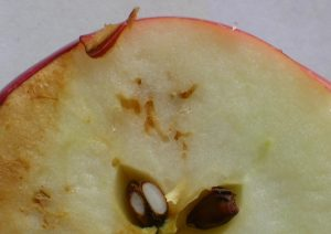 cross-section of an apple fruit with maggot tunnels