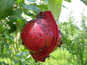 red sphere maggot trap
