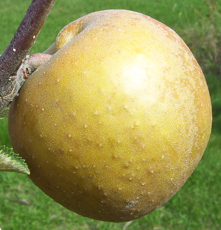 Types Of Fruit Trees Cooperative Extension Tree Fruits