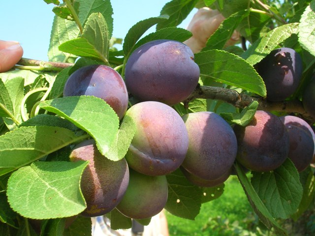 Gage Plums Are A Type Of European Plum They Great For Eating Fresh And Have Rich Flavor