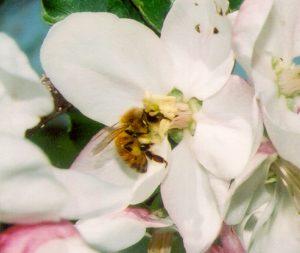 A honey bee on an apple blossom