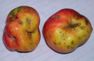 unsprayed apples