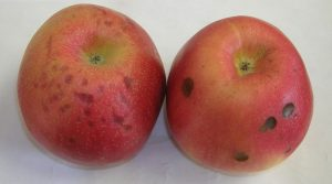 spots on Honeycrisp apples.