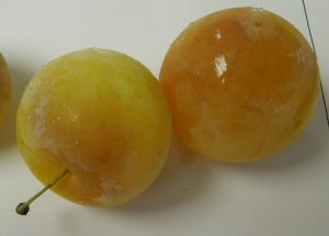Chilling injury in Shiro plums.