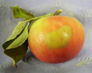 soft scald symptoms on a Honeycrisp apple: discoloration of the skin
