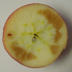 Soggy breakdown symptoms in Honeycrisp apple.