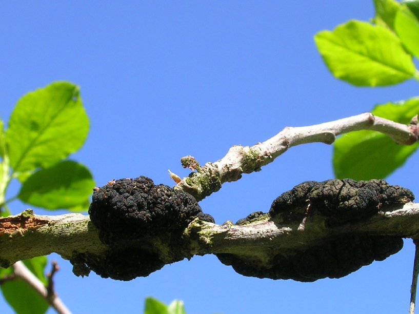Cherry Trees Diseases Pictures
