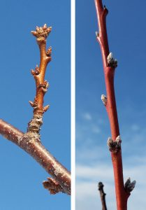 Flower buds of peach and plum trees