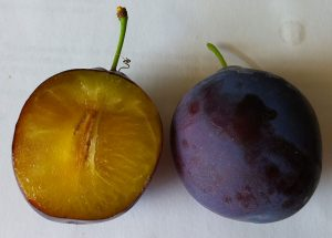Caselton plum