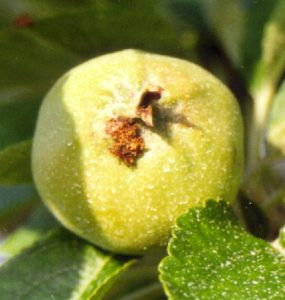 An apple that was attacked by the codling moth.