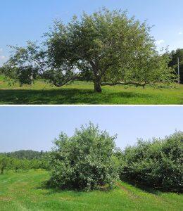 Full-sized (top) and semi-dwarf (lower) Cortland apple trees