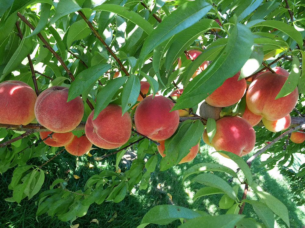 Types of fruit trees cooperative extension tree fruits university of maine cooperative - Fruit trees every type weather area ...