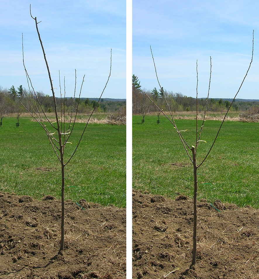 Pruning Cooperative Extension Tree Fruits University Of Maine