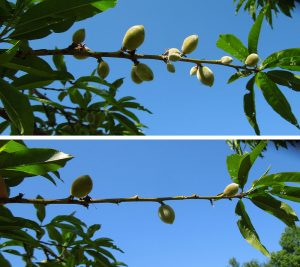 A peach branch before (top) and after (bottom) hand thinning fruit.
