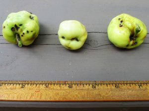 apples damaged by plum curculio (client photo)